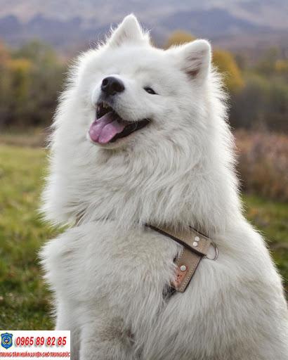11 sự thật đáng yêu về chó Samoyed có thể bạn chưa biết
