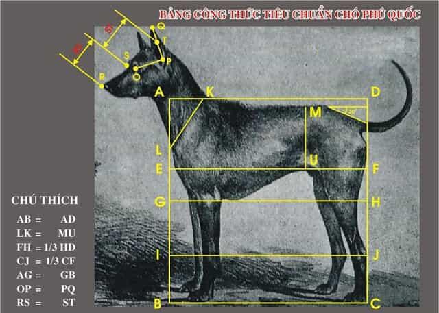 Bảng tiêu chuẩn chó Phú Quốc theo tiêu chuẩn VKA