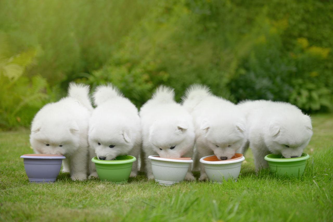 Hướng dẫn cách nấu thức ăn cho chó Samoyed đơn giản tại nhà