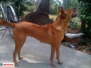 Cách nhận biết chó Phú Quốc thuần chủng và những điều cần lưu ý