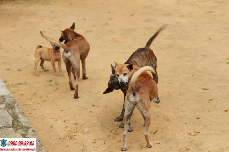 Cách nuôi chó Phú Quốc phát triển toàn diện ngay tại nhà