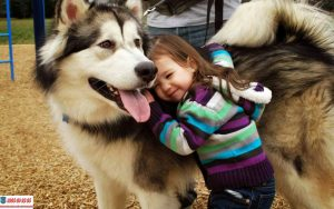 Hướng dẫn cách huấn luyện chó Alaska đơn giản ngay tại nhà