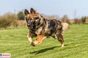 Hướng dẫn cách huấn luyện chó Becgie đơn giản ngay tại nhà