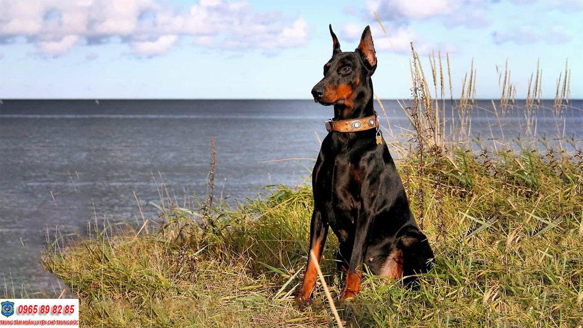 Hướng dẫn cách huấn luyện chó Doberman đơn giản ngay tại nhà