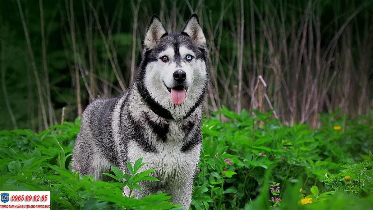 Hướng dẫn cách huấn luyện chó Husky Sibir đơn giản ngay tại nhà