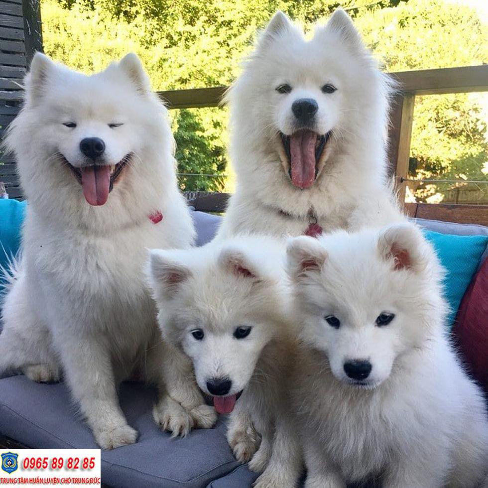 Hướng dẫn cách chăm sóc chó Samoyed 2 tháng tuổi bạn cần biết