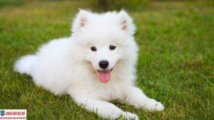 Những lưu ý không thể bỏ qua khi nuôi chó Samoyed tại nhà