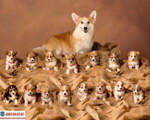 Hướng dẫn cách huấn luyện chó Corgi hiệu quả mà đơn giản tại nhà