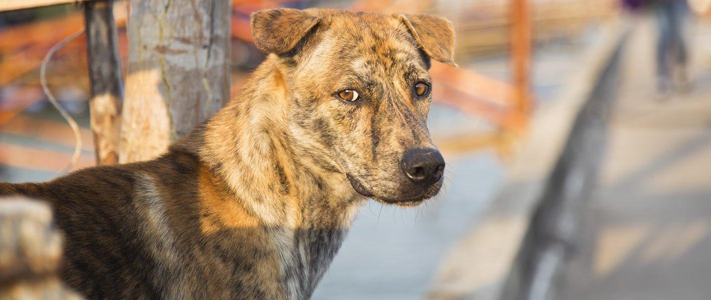 Hướng dẫn cách huấn luyện chó Phú Quốc hiệu quả mà đơn giản tại nhà