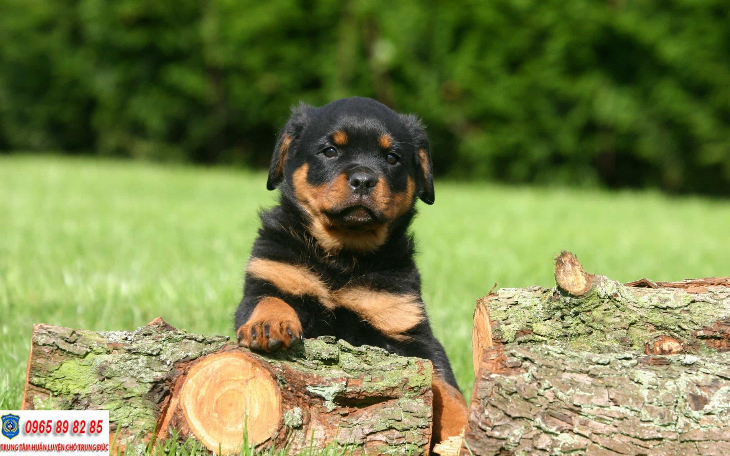 Hướng dẫn cách huấn luyện chó Rottweiler hiệu quả mà đơn giản tại nhà