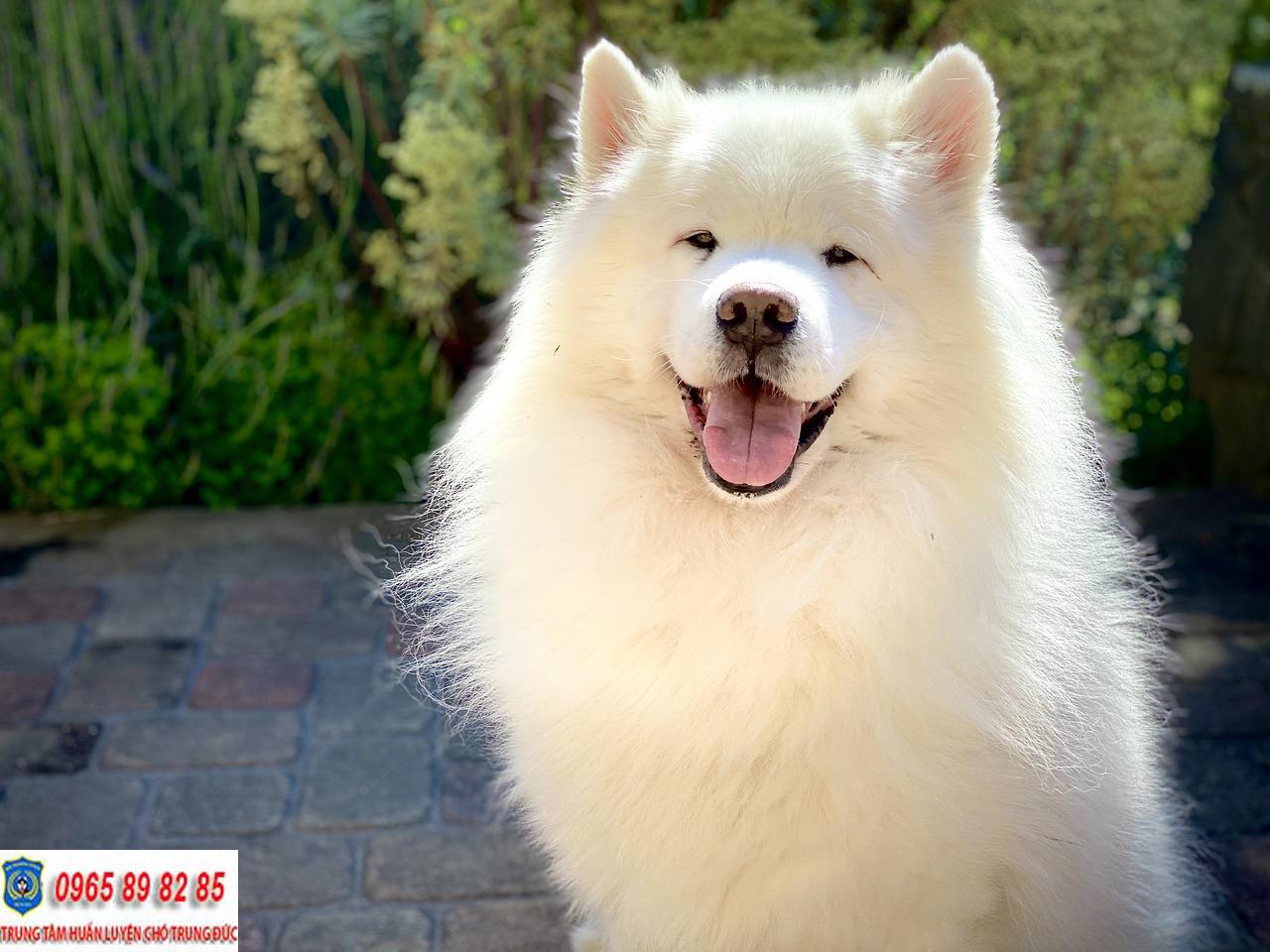 Hướng dẫn cách huấn luyện chó Samoyed hiệu quả mà đơn giản tại nhà