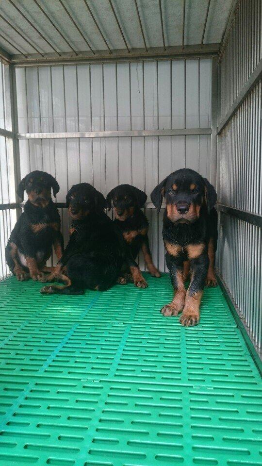 Mua bán chó Rottweiler thuần chủng giá rẻ tại Tphcm
