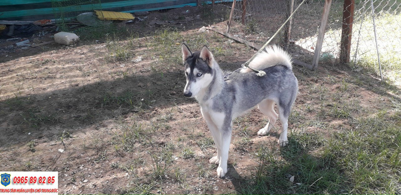 Mua bán chó Husky thuấn chủng giá rẻ tại Tphcm