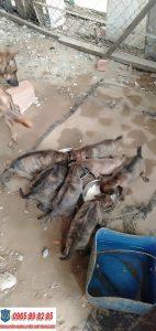 Mua bán chó Phú Quốc thuần chủng giá rẻ tại Tphcm