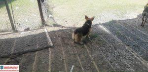 Mua bán chó Corgi thuần chủng giá rẻ tại Tphcm