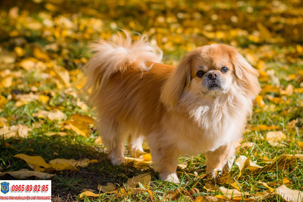 Trung tâm huấn luyện chó Bắc Kinh