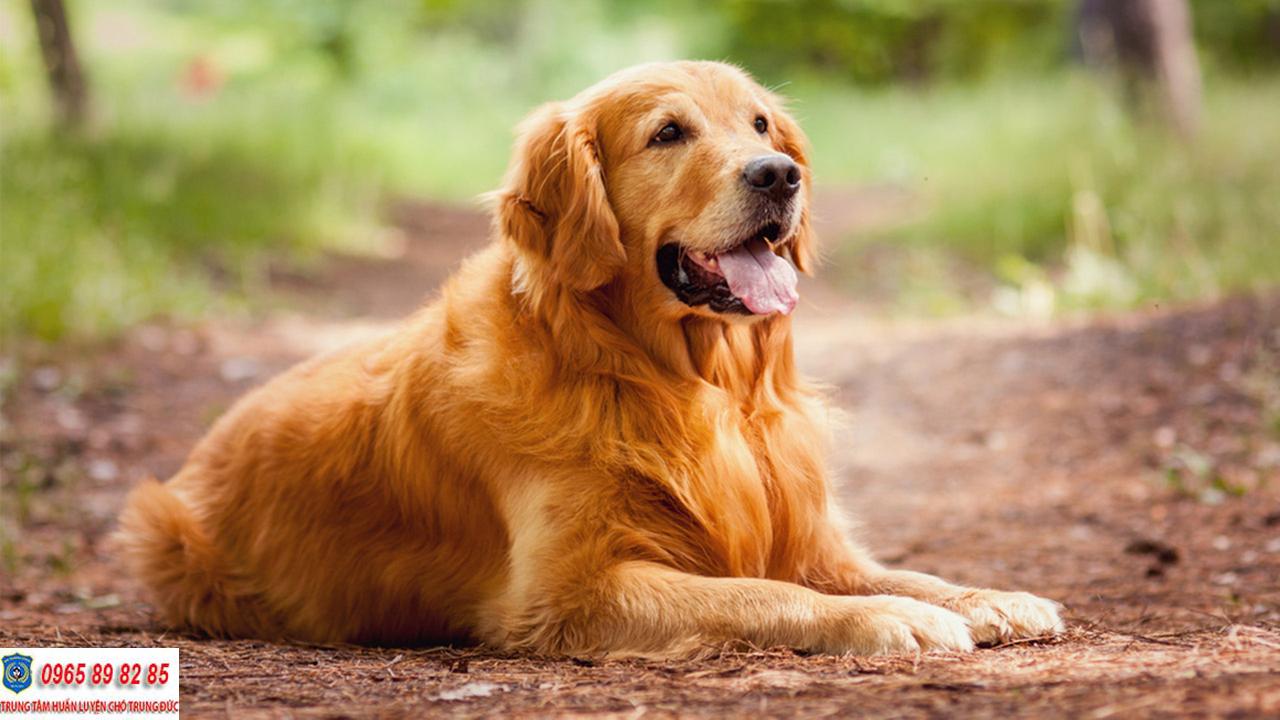 Trung tâm huấn luyện chó Golden